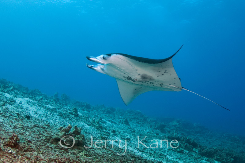 Manta Ray (Manta birostris) - Keauhou, Big Island, Hawaii