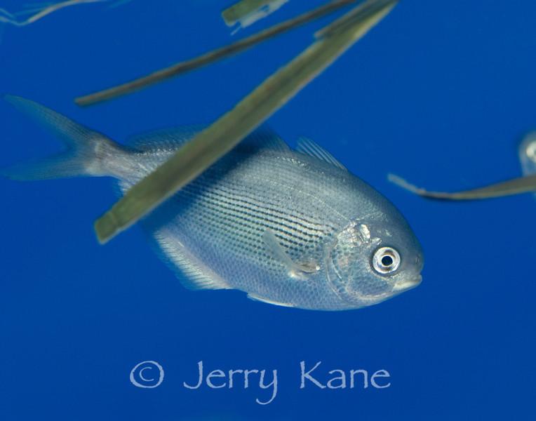 Freckled Driftfish (Psenes cyanophrys) under drifting palm frond - Offshore Kona, Big Island, Hawaii