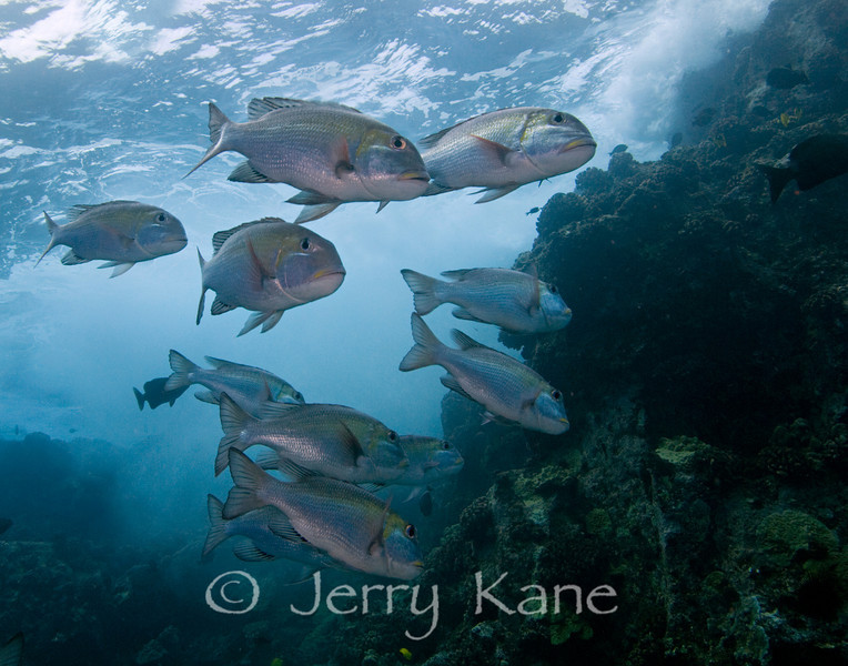 Bigeye Emperors (Monotaxis grandoculis) - Kaiwi Point, Big Island, Hawaii