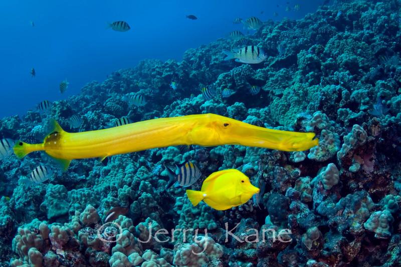 Pacific Trumpetfish (Aulostomus chinenses) & Yellow Tang (Zebrasoma flavescens) - Kaiwi Point, Big Island, Hawaii