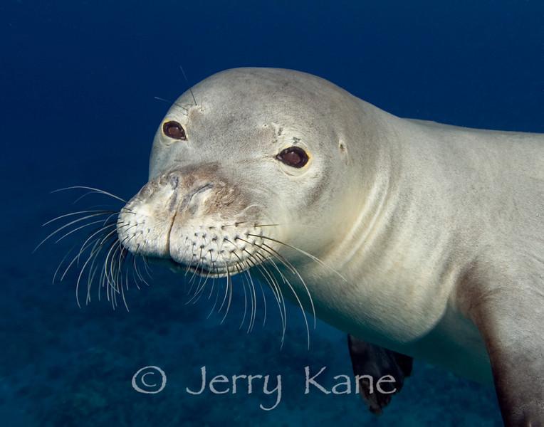 Hawaiian Monk Seal (Monachus schauinslandi) - Hookena, Big Island, Hawaii