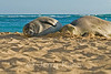Monk seal pup Kaimana born June 28-29, 2017 on Kaimana Beach, Oahu, HI
