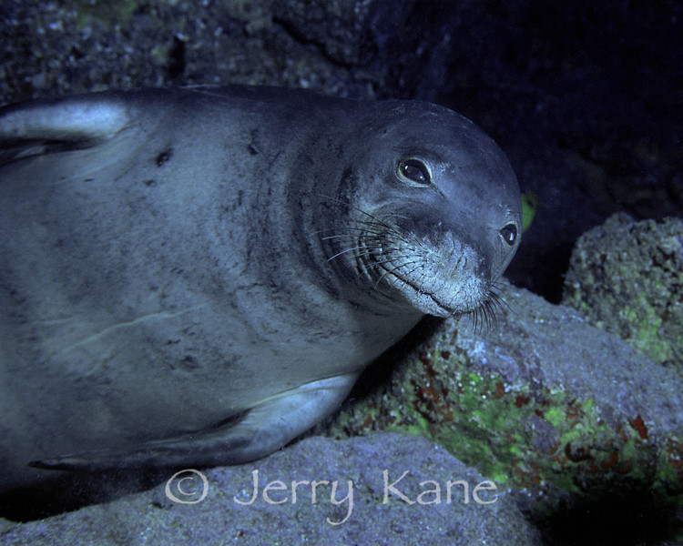 Hawaiian Monk Seal (Monachus schauinslandi) - Sea Cave, Oahu, Hawaii