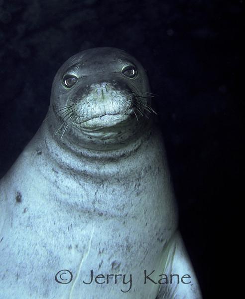 Hawaiian Monk Seal (Monachus schauinslandi) - Sea Cave, Oahu, Hawaii