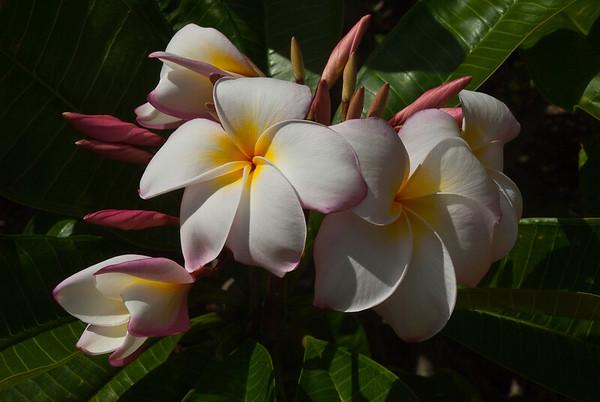 Plumeria Plum (1 of 1)
