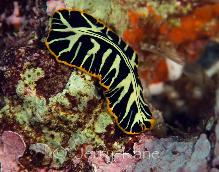 Divided Flatworm (Pseudoceros dimidiatus) - Red Hill, Big Island, Hawaii