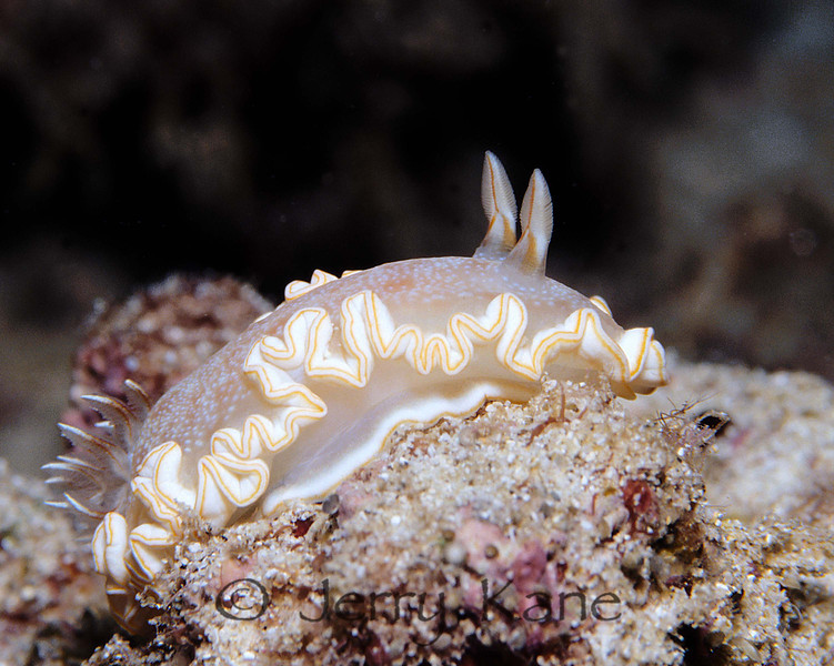Snow Goddess Nudibranch (Glossodoris poliahu) - Oahu, Hawaii