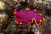 Fuchsia Flatworm (Pseudoceros ferrugineus) - Oahu, Hawaii