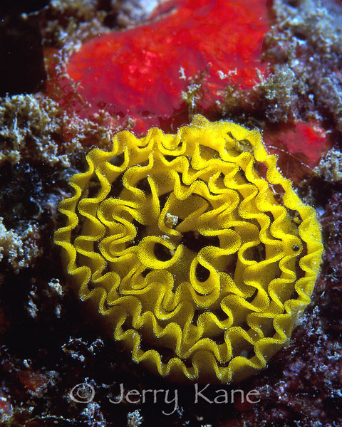 Egg mass of unknown nudibranch - Oahu, Hawaii