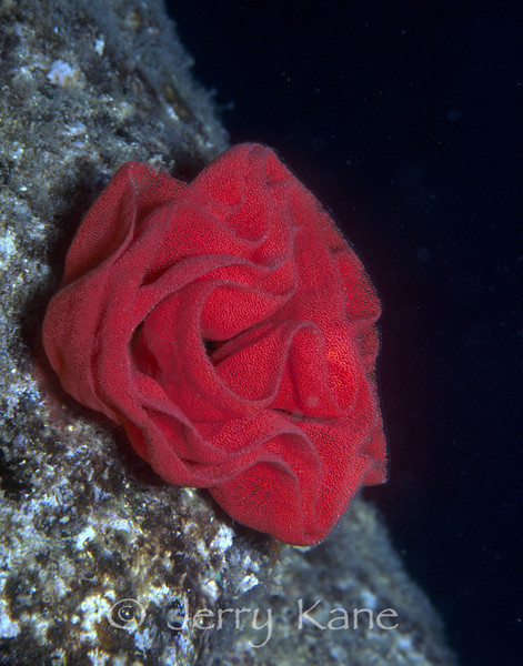 Egg Mass of a Spanish Dancer (Hexabranchus sanguineus) - Pupukea, Oahu, Hawaii