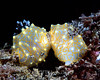Mating Gold Lace Nudibranchs (Halgerda terramtuentis) - Makua, Oahu, Hawaii