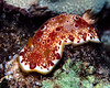 Red-Spotted Nudibranch (Chromodoris tinctoria??) - Oahu, Hawaii