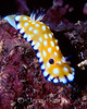 Trembling Nudibranch (Chromodoris vibrata) - Oahu, Hawaii