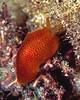 Pleurobranchus albiguttatus - Pupukea, Oahu, Hawaii