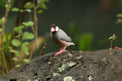 Java Sparrow, Waimea Valley, Oahu Hawaii, 2018
