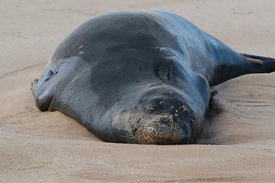 Hawaiian Monk Seal, Pipemaster's 2018
