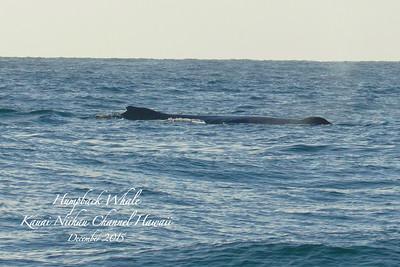 Humpback Whale in Channel between Niihau and Kauai