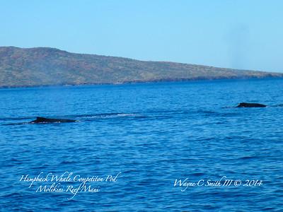 Molikini Maui, Humpback Whales in Competition Pod