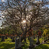Plumeria Tree in Cemetery