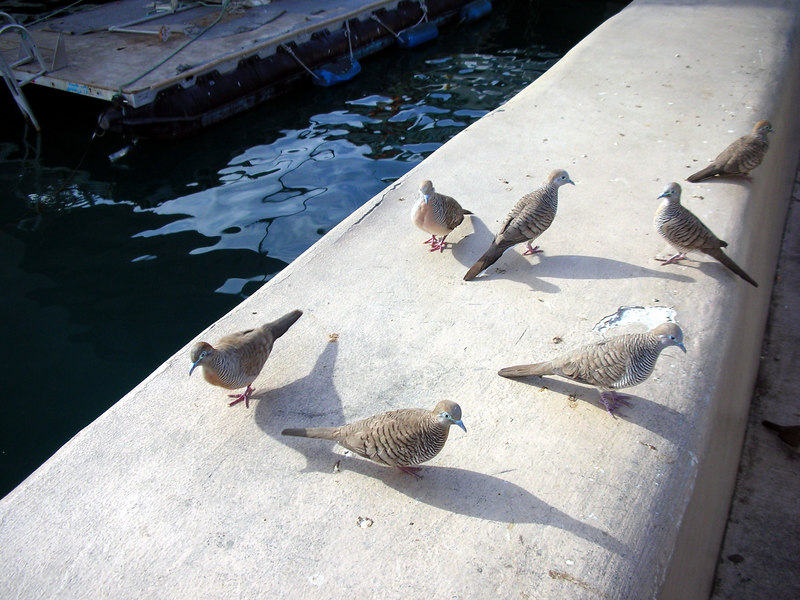 70. Feeding Honolulu Harbor Fish & Birds.JPG