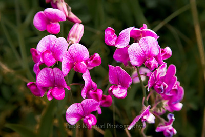 Snap Dragon Orchids