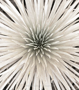 Silversword Bouquet
