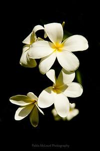 Quintessential and Classic Plumeria Blossom
