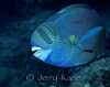 Spectacled Parrotfish (Chlorurus perspicillatus) - Oahu, Hawaii