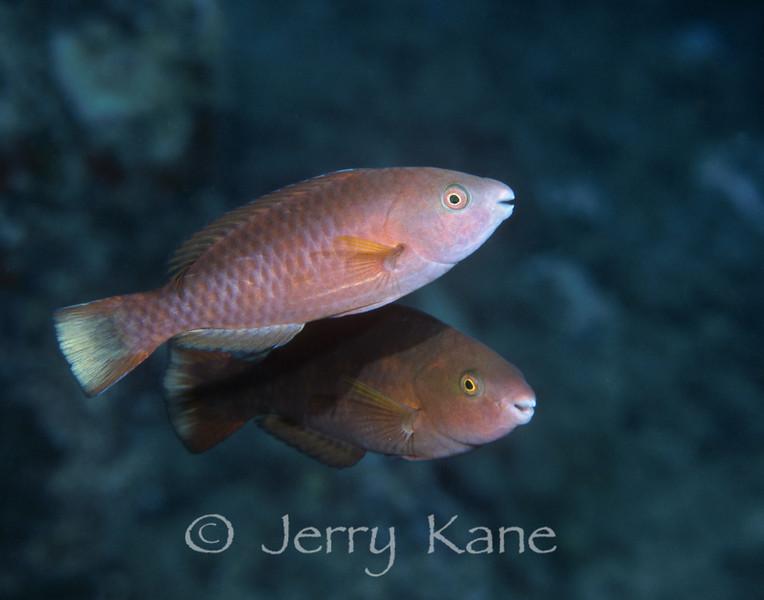 Palenose Parrotfish (Scarus psittacus) - Oahu, Hawaii