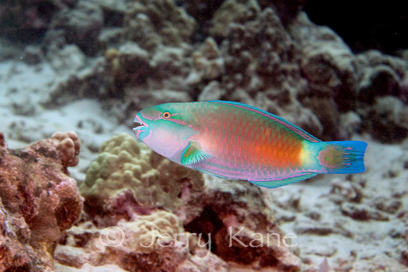 Regal Parrotfish (Scarus dubius) - Keauhou, Big Island, Hawaii