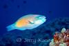 Bullethead Parrotfish (Chlorurus sordidus) - Kaiwi Pt., Big Island, Hawaii