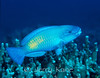 Bullethead Parrotfish (Chlorurus sordidus) - Big Island, Hawaii