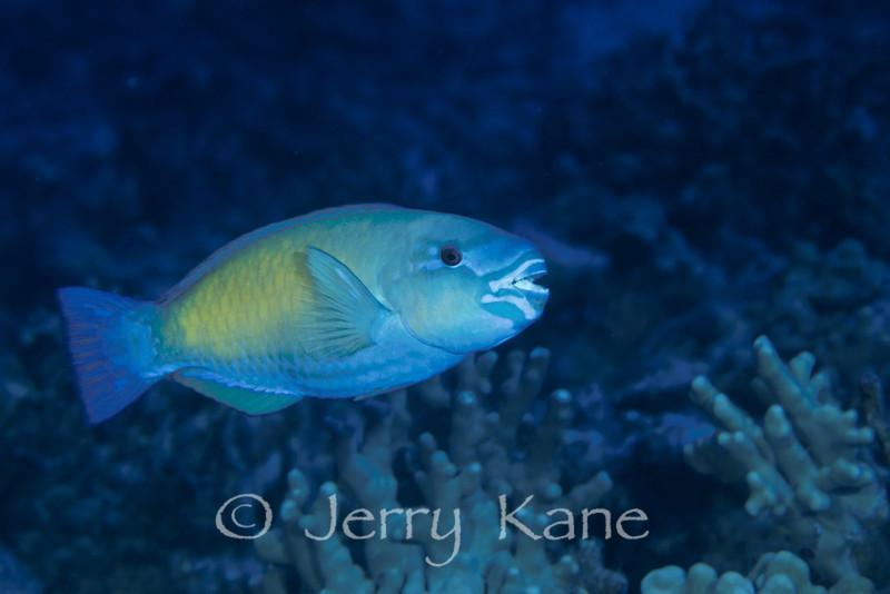 Bullethead Parrotfish (Chlorurus sordidus) - Big Island, Hawaii