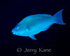 Palenose Parrotfish (Scarus psittacus) - Big Island, Hawaii