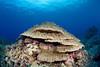 Evermann's Coral (Porites evermanni) - Kaohe Bay, Big Island, Hawaii