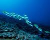 Bluestripe Snappers (Lutjanus kasmira) - Honaunau, Big Island, Hawaii