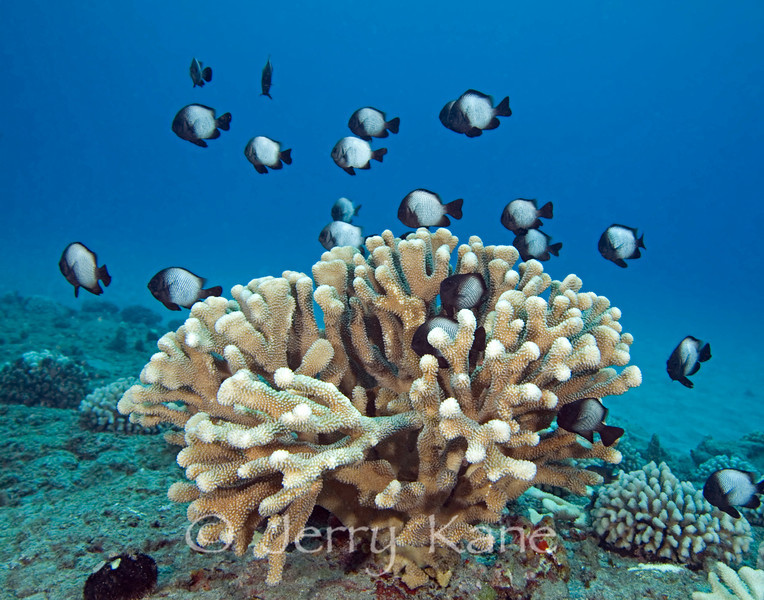 Hawaiian Domino Damselfish (Dascyllus albisella) and Antler Coral (Pocillopora eydouxi) - Hookena, Big Island, Hawaii