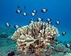 Hawaiian Domino Damselfish (Dascyllus albisella) and Antler Coral (Pocillopora eydouxi) - Hookena, Big Island, Hawaii