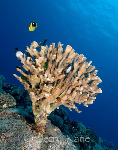 Antler Coral (Pocillopora eydouxi) - Pine Trees, Big Island, Hawaii