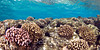 Cauliflower Coral (Pocillopora meandrina) in shallow water - Honokohau, Big Island, Hawaii