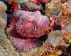 Devil Scorpionfish (Scorpaenopsis diabolus) - Hookena, Big Island, Hawaii