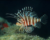 Hawaiian Lionfish (Pterois sphex) - Pupukea, Oahu, Hawaii