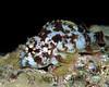 Speckled Scorpionfish (Sebastapistes coniorta) in a variant of its nighttime coloration - Pupukea, Oahu, Hawaii