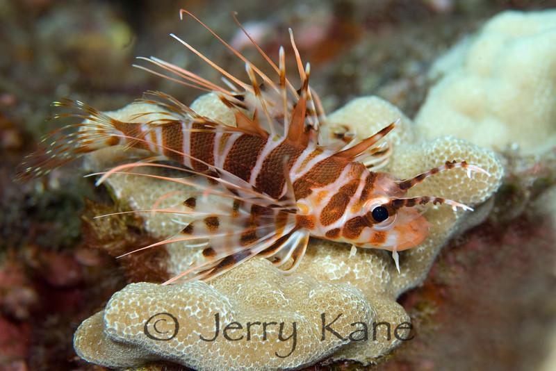 Hawaiian Red Lionfish (Pterois sphex) - Kaohe Bay, Big Island, Hawaii