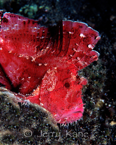 Leaf Scorpionfish (Taenianotus triacanthus) - Pupukea, Oahu, Hawaii