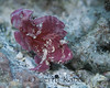 Leaf Scorpionfish (Taenianotus tricanthus) - Eel Cove, Big Island, Hawaii