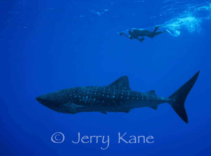 Whale Shark (Rhincodon typus) & Photographer Dave Kearnes -  Offshore Kona, Big Island, Hawaii