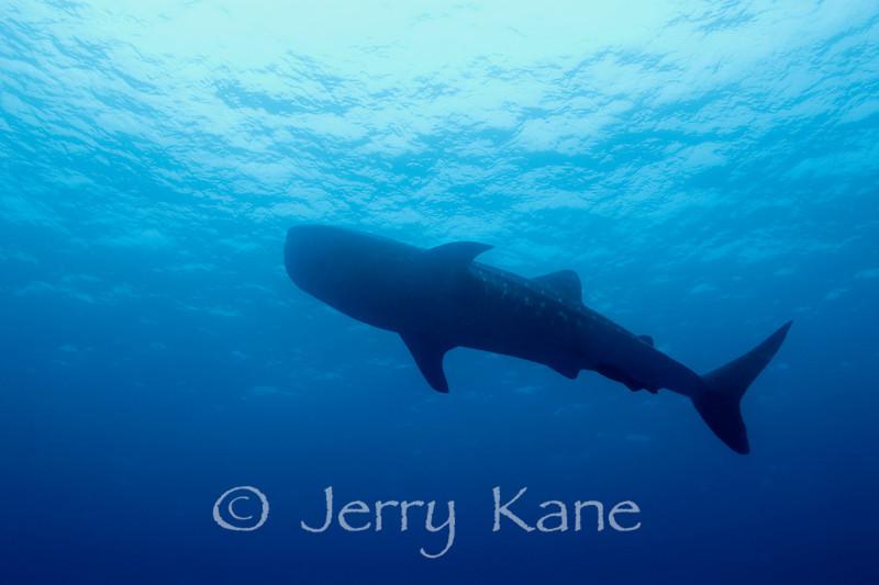 Whale Shark (Rhincodon typus) - Honokohau, Big Island, Hawaii