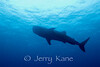 Whale Shark (Rhincodon typus) - Honokohau, Big Island, Hawaii