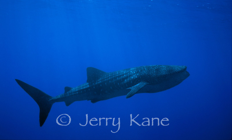 Whale Shark (Rhincodon typus) -  Offshore Kona, Big Island, Hawaii